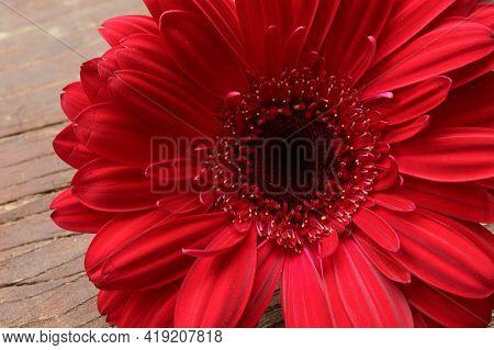 Very Pretty Red Gerber Flower Close Up