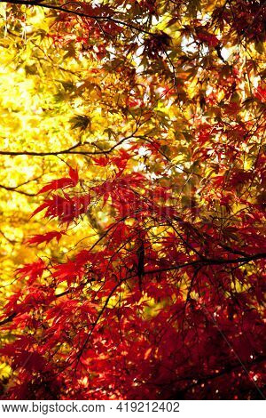 Very Colourful Red And Gold Backlit Leaves In Autumn