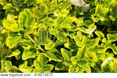 Euonymus Or Spindle Tree With Green, Yellow And White Leaves Background. Climbing Euonymus Or Fortun