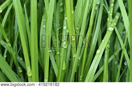 Fresh Green Grass With Drops Of Water, After The Rain. Beautiful Rain Drops On The Green Leaves, Rai