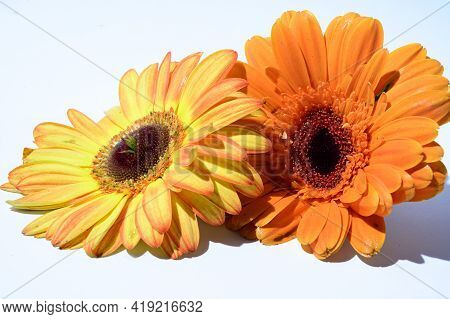 Two Beautiful Colorful  Gerber Flower Close Up