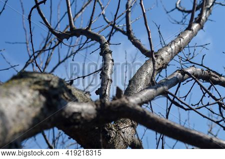 A Picture Of Tree Branches On The Blue Sky Background, Fancy Branches, Tree Branch Texture. Leafless