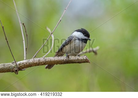 Black Capped Chickadee Has Landed Close And Waiting To Be Fed On A Sunny Day At The Park