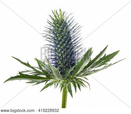 Sea Holly Thistle Isolated On White Background