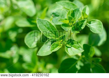Oregano Or Marjoram Plant With Green Leaves. Harvesting Seasonings For Cooking. Garden Herbs Medical