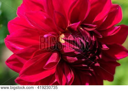Close Up Sunlit Red Fragile Dahlia Blossoming Plant With Lots Petals