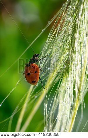 Vertical Format. Little Red Dotted Lady Bug Is Climbing On Glowing Sunlit Wet Spica Long Grass Stems