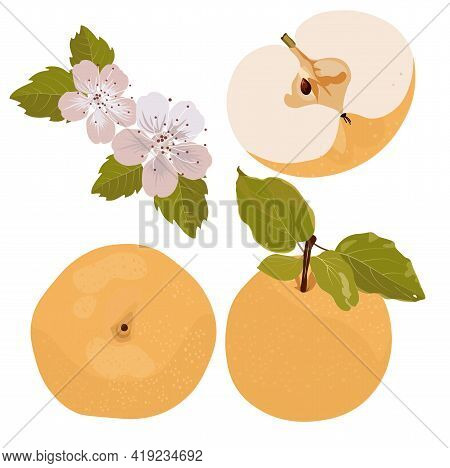 Vector Stock Illustration Of A Snow Pear Or Korean Pear On White Background. Nashi Pear Fruits Delic