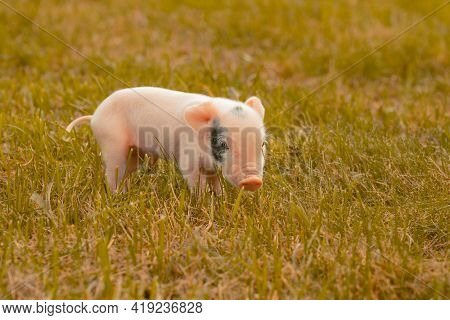 A Little Piglet Newborn With A Loose Umbilical Cord On The Grass Learns To Walk