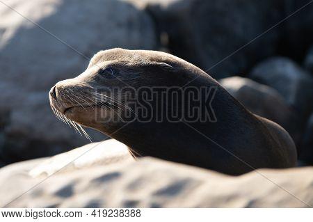 Fur Seal In The Sand Portrait. Cape Fur Seals. Wildlife Concept With Sea Lion.