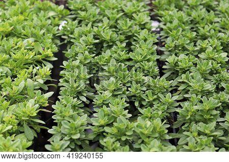 Rows Of Million Bells Plants Growing In Seedling Trays