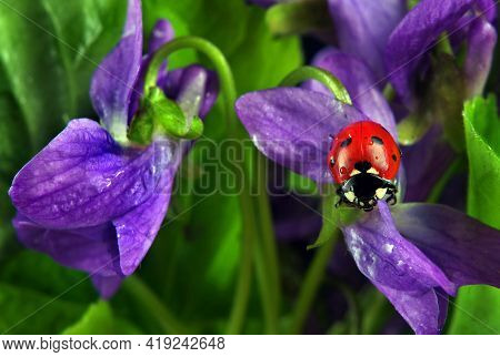 Ladybug On Flowers In Water Drops. Ladybug And Spring Flowers