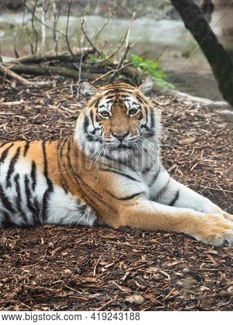 Tiger Portrait. Tiger Resting In The Zoo. The Tiger Is Out For A Walk And Is Relaxed.