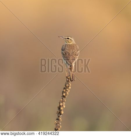 Tawny Pipit, Anthus Campestris, Spring In The Wild.