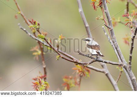 Wheatear Oenanthe Oenanthe. Wild Bird In A Natural Habitat.