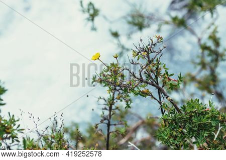 Sunny Nature Background With Small Yellow Flowers Of Cinquefoil Above Bokeh Of Clear Azure Water Str