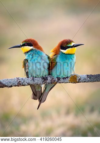 Colorful bee eater bird couple sitting on a branch in spring