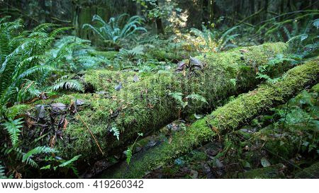 Mossy Logs And Forest Ferns. Fallen Mossy Logs On A Temperate Rainforest Floor Of The Pacific Northw