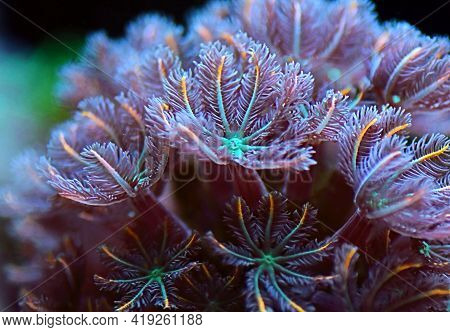 The Clavularia Clove Polyps Colony - Clavulariidae Spp.