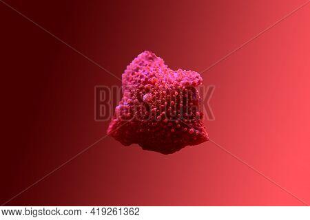 Red Discosoma Bright Mushroom Soft Coral - Discosomatidae Sp.
