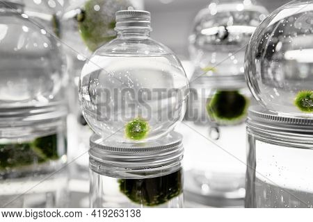 Marimo Or Cladophora Ball Or Moss Ball Or Lake Ball In Glass Jar With Water. Symbol Of Everlasting L