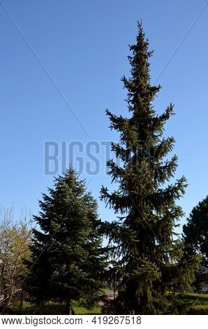 He Spruce Is Very Slender With Horizontal, Short Branches That Protrude From The Trunk. The Bark Of