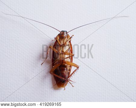 Dead Cockroach Hitting The White Background Picture.