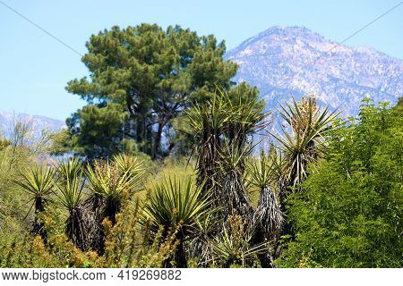 Chaparral Shrubs Including The Yucca Plant Taken At A Chaparral Woodland With The San Gabriel Mounta