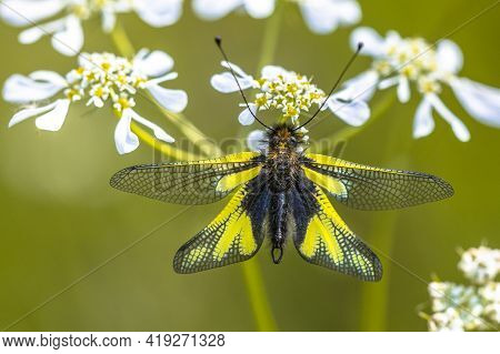Owly Sulphur (libelloides Coccajus) Rare Insect Species Resting On White Flower In Tuscany, Italy, A