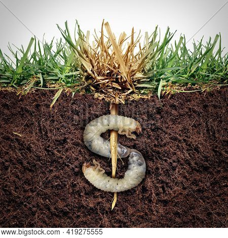Lawn Damage Cost And Grub Damaging A Garden As Chinch Larva Damaging Grass Roots Causing An Expensiv