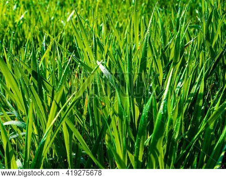 Green Grass With Drops Of Morning Dew In Sunlight. Green Meadow Grass. Morning Dew. Foda Drops. Sunl