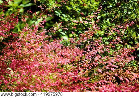 Huercha Plant Flower Blossoms During Spring Besides A Hedge Of Lush Plants Taken At A Garden In A Re