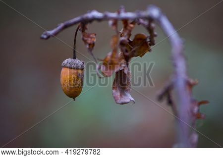 Acorn. Hanging On A Branch, Oak Autumn Leaves And Acorn. Close-up Of An Oak Branch With Dry Leaves A