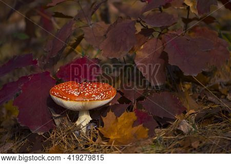 Red Fly Agaric In The Leaves Of The Autumn Forest. Beautiful Red Fairytale Fly Agaric. Poisonous Mus