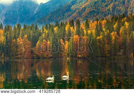 Pair of white swans on the smooth water of the lake. Magnificent colors of autumn. Lake Fuzine. Orange, yellow and red trees are reflected in the lake. The Dolomites mountain range.
