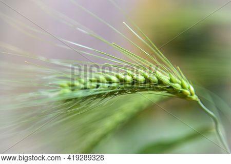 Green Barley Ear, Single Green Barley Ear