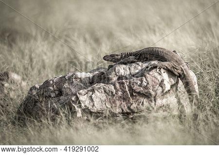 Fine Art Image Of Monitor Lizard Or Bengal Monitor Or Common Indian Monitor Or Varanus Bengalensis P