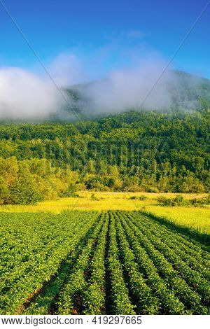 Morning Rural Landscape In Mountains. Rows Of Lush Green Potatoes Grow In The Field. Rustic Agricult