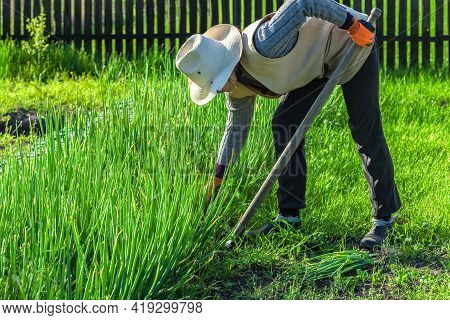 The European Gardener Grows Organic Vegetables, Picking Green Onions In Her Garden In The Spring. An