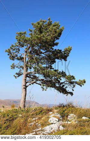 Landscape With A Lonely Pine Tree On Hillside With Mountains On Horizon