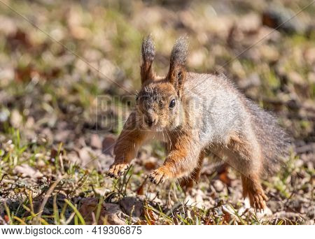 photo with brown squirrel jumping between old leaves