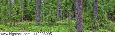 spring forest with small firs and high pines
