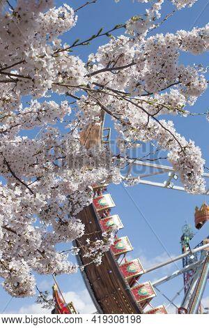 Pendulum Ride With Cherry Blossom In Amusement Park.