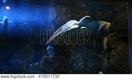 Green Sea Turtle In The Town Oceanarium