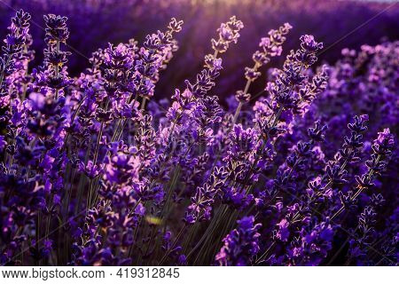 Lavender Flowers Close Up On A Lavender Field. In The Sunset Light. Travel Concept, Aromatherapy.
