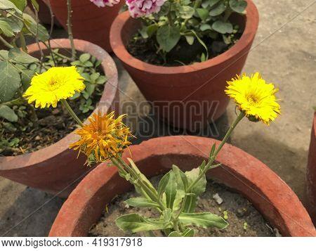 Flower For Decoration And Agriculture Concept Design At Flower Pot.