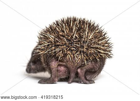 Back view of a Young European hedgehog isolated on white