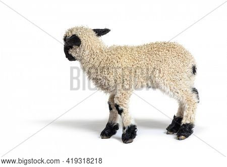 Profile of a lovely Lamb Valais Blacknose sheep three weeks old, looking back