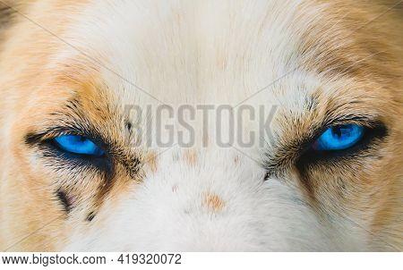 Close Up Of Bright Blue Eyes Of An Alaskan Husky Sled Dog.