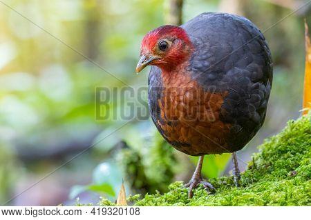 Nature Wildlife Bird Of Crimson-headed Partridge On Deep Jungle Rainforest, It Is Endemic To The Isl